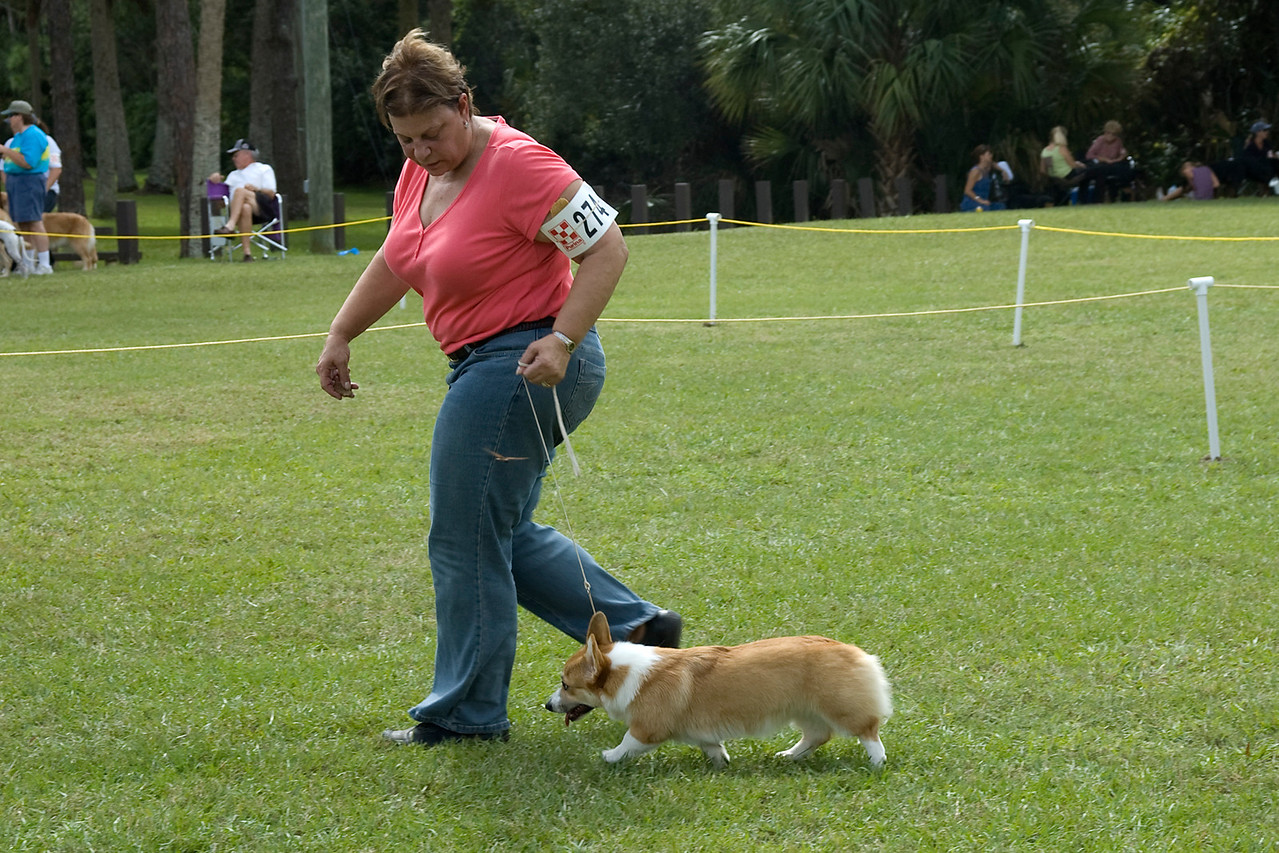 This Pembroke Welsh Corgi won its Breed, Herding Group and went onto compete for Best In Match Junior Puppy.