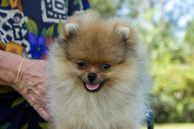 This cute Pomeranian watches the judging with her owner.