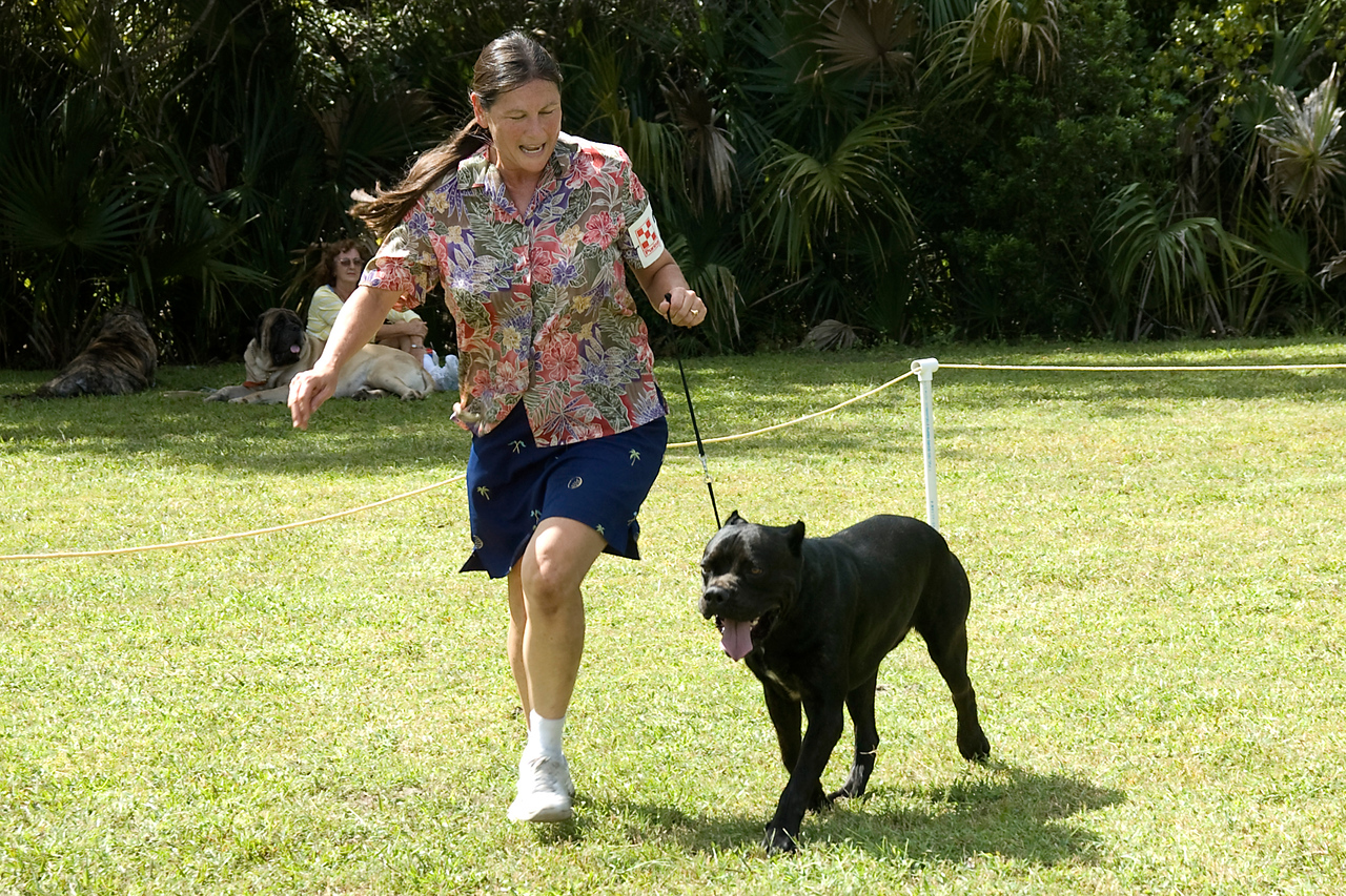 The Cane Corso competed in the Adult Working Group.
