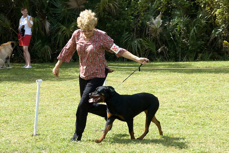 This handler shows the movement and side gait of her Rottweiler during the conformation judging.
