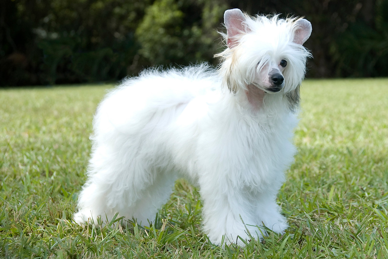 Couture's Our Elaborate Plans is a Powder Puff Chinese Crested. Seidye competed in 6-9 month Puppy in Conformation.  She is doing a beautiful free stack outside of the ring.