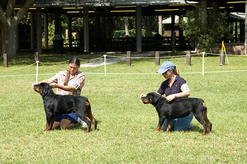 These two beautiful Rottweilers compete for Breed.