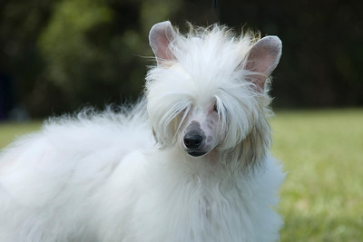 Seidye (Couture's Our Elaborate Plans), Powder Puff Chinese Crested