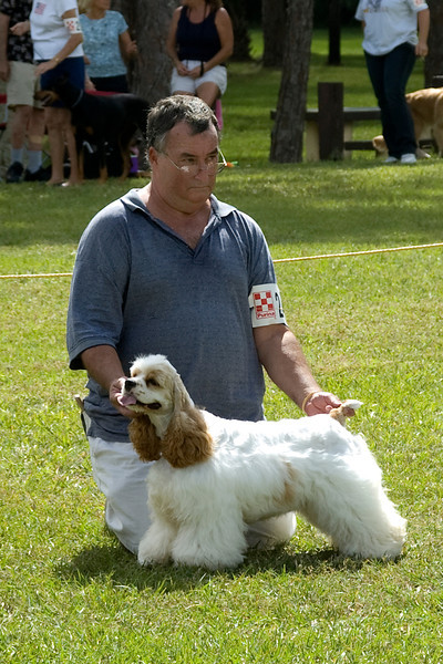 This Cocker Spaniel won its Breed, Sporting Group and went onto compete for Best In Match Senior Puppy.