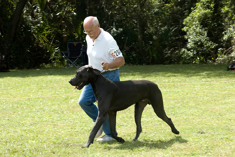 The Great Dane showed good extension and movement during the conformation judging.