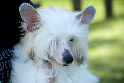 Couture's Our Elaborate Plans is a Powder Puff Chinese Crested. Seidye competed in 6-9 month Puppy in Conformation.