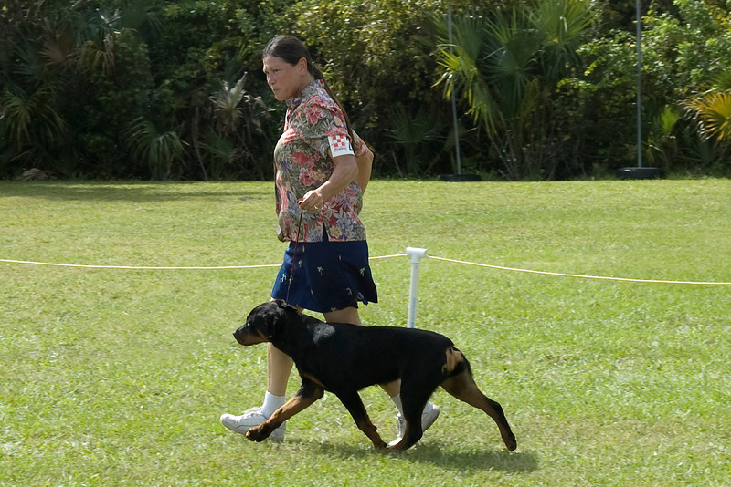 This handler shows the reach and drive of her Rottweiler during the conformation judging.