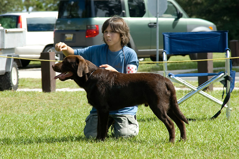 This young gentleman has his Chocolate Labrador Retriever stacked and nicely presented to the judge.  He is competing in Junior Showmanship.