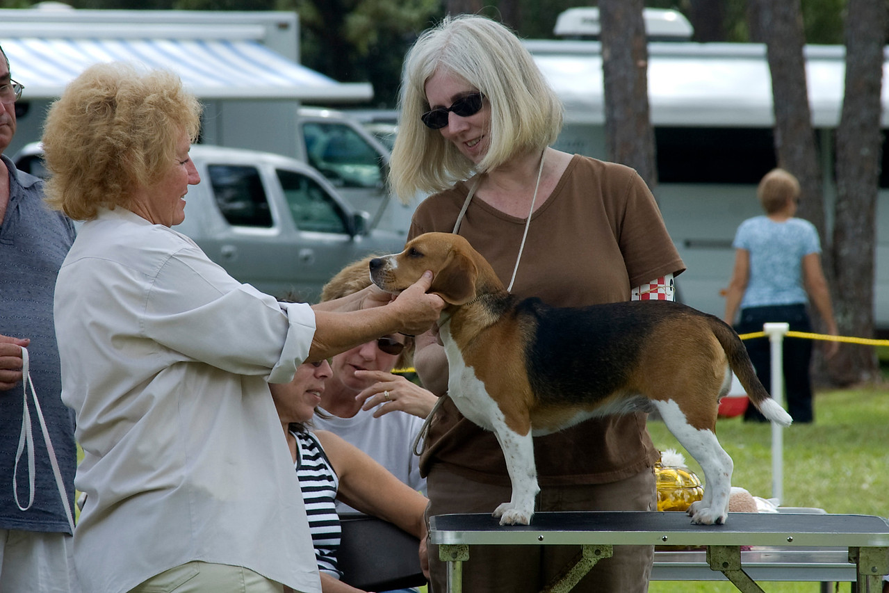 This Beagle, after winning Group 1 in the Senior Puppy Hound group went onto complete in the Best In Match Senior Puppy.  Here the judge examines the head for expression and correct structure.