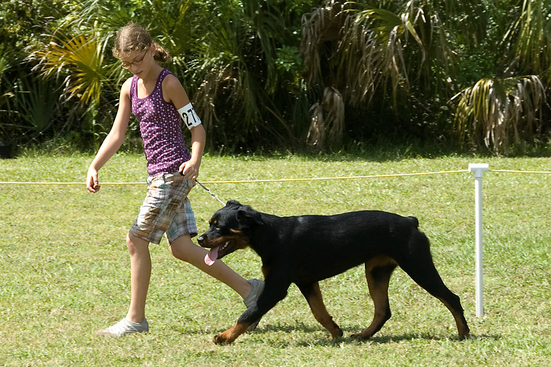 This young lady shows the movement and side gait of her Rottweiler during the conformation judging.