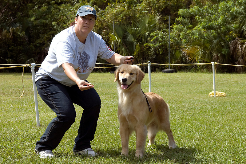 The handler works on the Golden Retriever's expression during conformation judging.