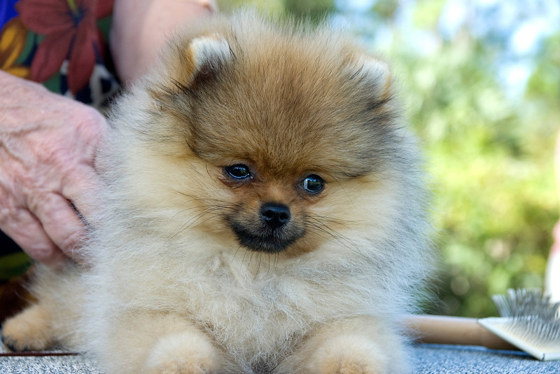 This cute Pomeranian lies calmly on the grooming table, while awaiting her turn in the conformation ring.