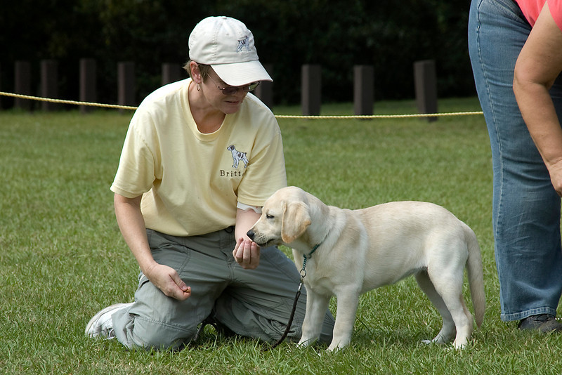 The little Labrador Retriever competed in the Best In Match Junior Puppy group.  Here the owner is helping the puppy to hold its stack.