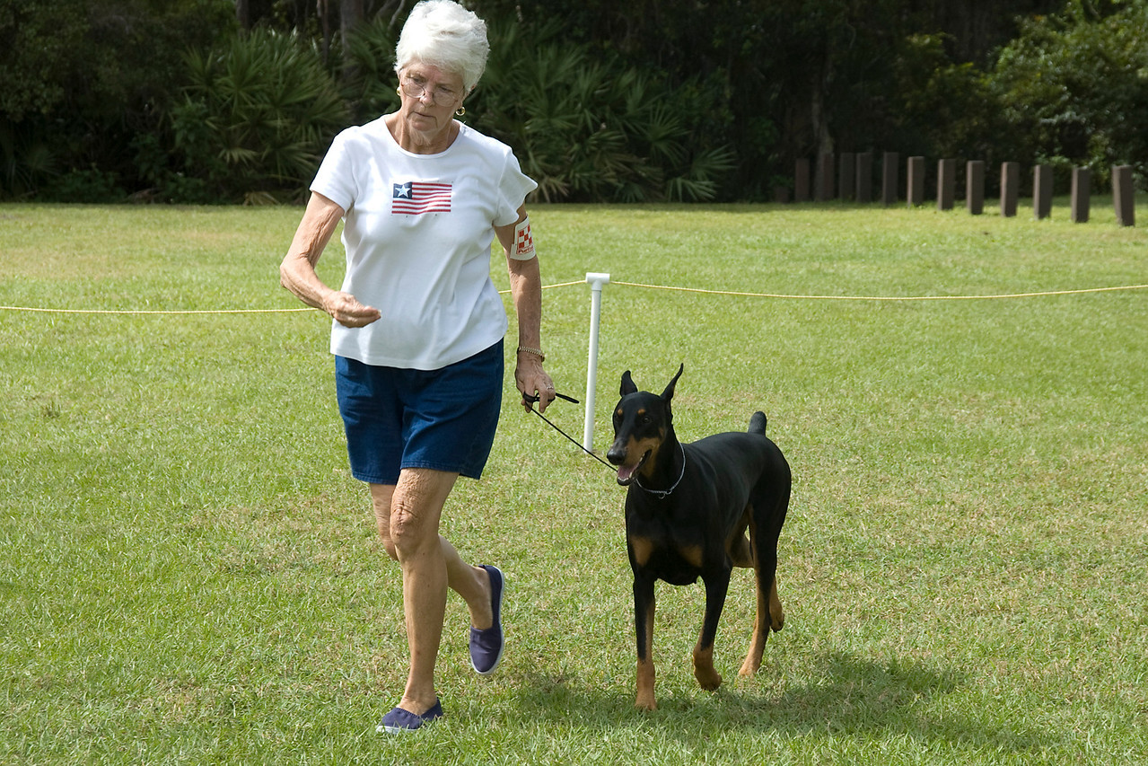 This Doberman Pinscher displays its front movement, when coming into the judge, during the conformation judging.