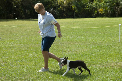 The Boston Terrier won its Breed, Non-Sporting Group 1 and Best In Match Senior Puppy.