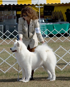 Brooksville Dog Shows - January 2008 - Samoyeds