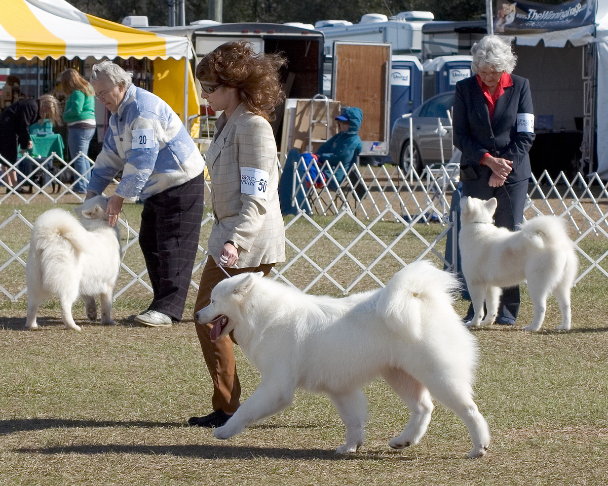 Brooksville Dog Shows - January 2008 - Samoyeds