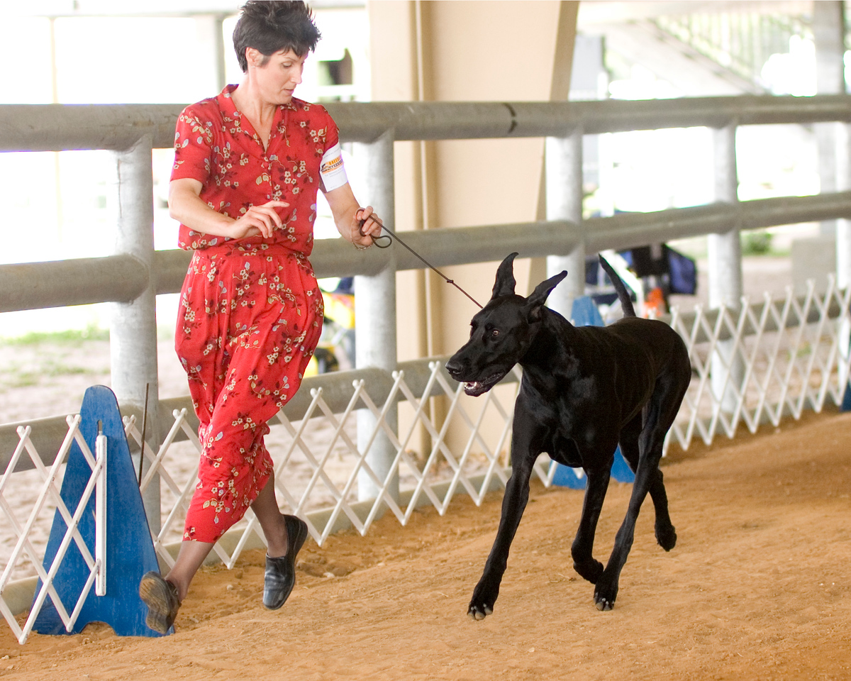 Ch KRW Asbury Must B Black Magic, Great Dane bitch, is owned by Kelly Weidner & Wendy Kellenberger.  Kelly is also the breeder and handler. - Greater Orange Park Dog Shows April 2008