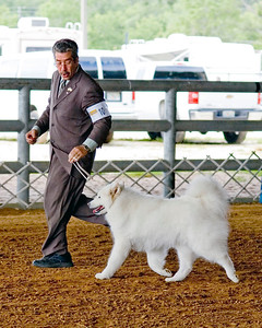 Ch Castle's Rasia of White Gold, HT, CGC, a Samoyed bitch, is handled by Gary Sheetz.  Rasia is owned and bred by Cheryl West. - Greater Orange Park Dog Shows April 2008