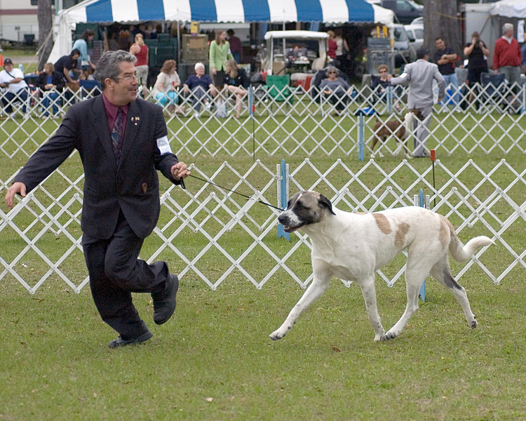 "CH Island Farm's Kolay of Alaturka, Anatolian Shepherd Dog, with Gary Sheetz, agent.  Daisy is owned by Sandra King and Deborah Grunnah and took Best of Breed, Saturday, March 22nd. - Seminole Dog Fanciers Association, March 22nd & 23rd, 2008<br />  <a href=""http://www.sheetzhandling.com"">http://www.sheetzhandling.com</a>"