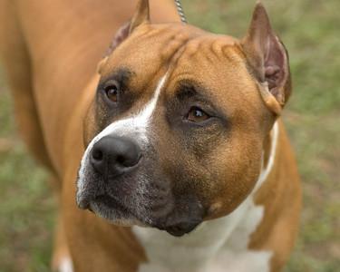 CH Ruffnek Rich's Red Streak, American Staffordshire Terrier. Gator is owned by Melissa Scheigert and handled by Gary Sheetz. http://www.sheetzhandling.com - Seminole Dog Fanciers Association, March 22nd & 23rd, 2008