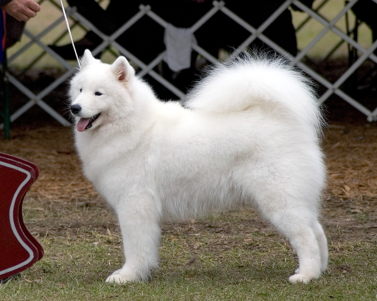 Ch White Gold's Destined To Dazzle - Kiska is owned by Laura Segers - Gainesville show - Jan. 2008