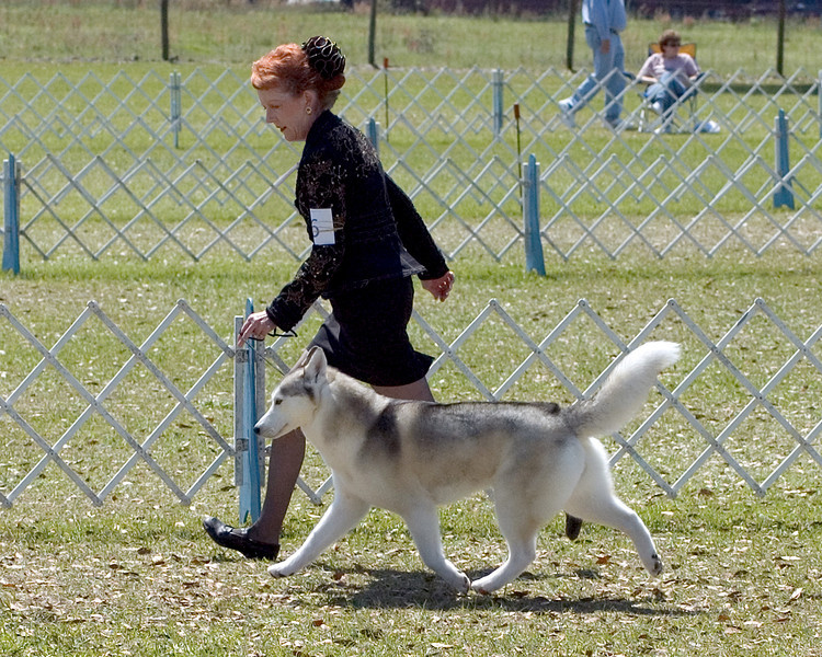 CH Mileka's Silver Bullet, a Siberian Huskie, owned by Sally O'connell, took Best of Breed, Saturday, March 22nd and Sunday, March 23rd - Seminole Dog Fanciers Association, March 22nd & 23rd, 2008