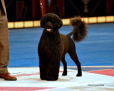 Best in Show competition winner and Working Group 1 - Portuguese Water Dog - GCH CH Claircreek Impression De Matisse