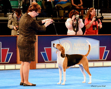 Best in Show competition - Hound Group 1 - American Foxhound - GCH CH Kiarry's Pandora's Box