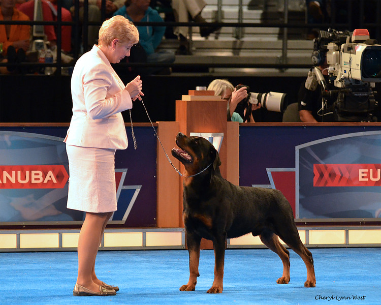 Bred-By Exhibitor Best in Show competition - Working Group 1 - Rottweiler - GCH CH Robban's Invincible CD