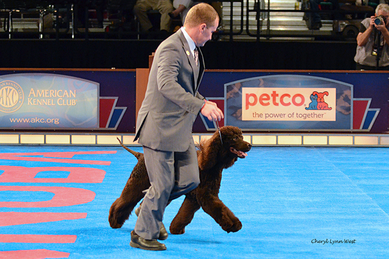 Best in Show competition - Sporting Group 1 - Irish Water Spaniel - GCH CH Whistlestop's Riley On Fire