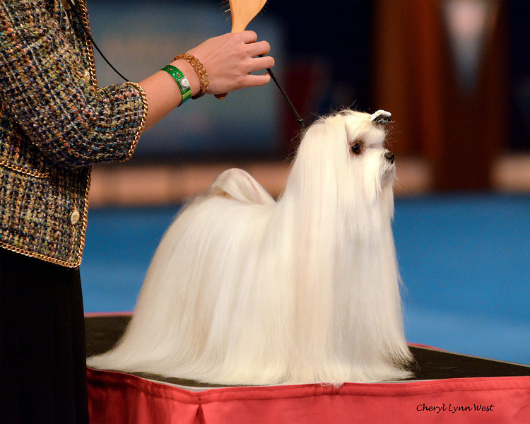 World Challenge - Taiwan - Maltese<br /> Pitera of Moly Bo Bo - Bred By Chiang-Li Fang