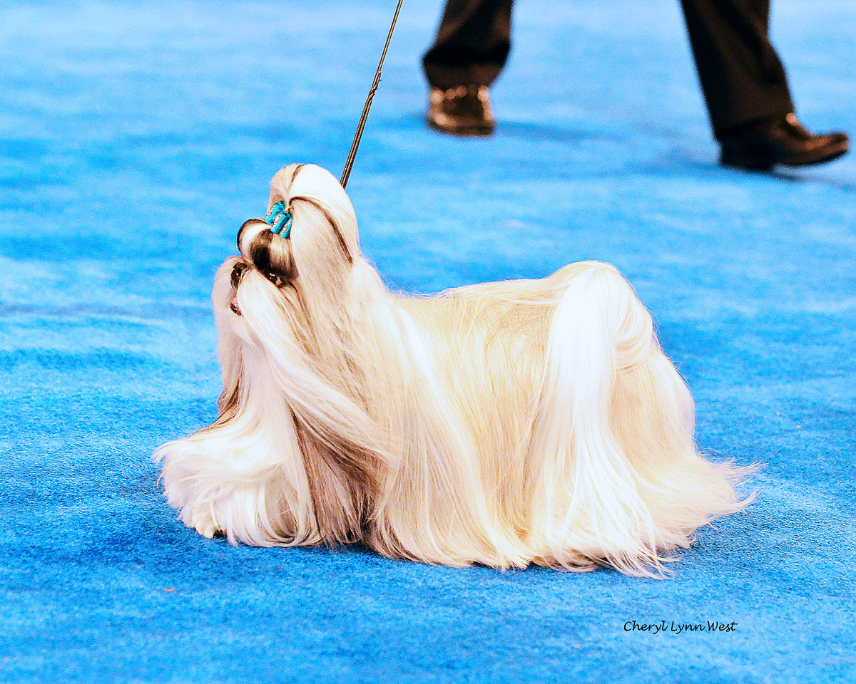 Bred-By Exhibitor Best in Show competition - Toy Group 1 - Shih Tzu - GCH CH Krissy's Savvy Jasper