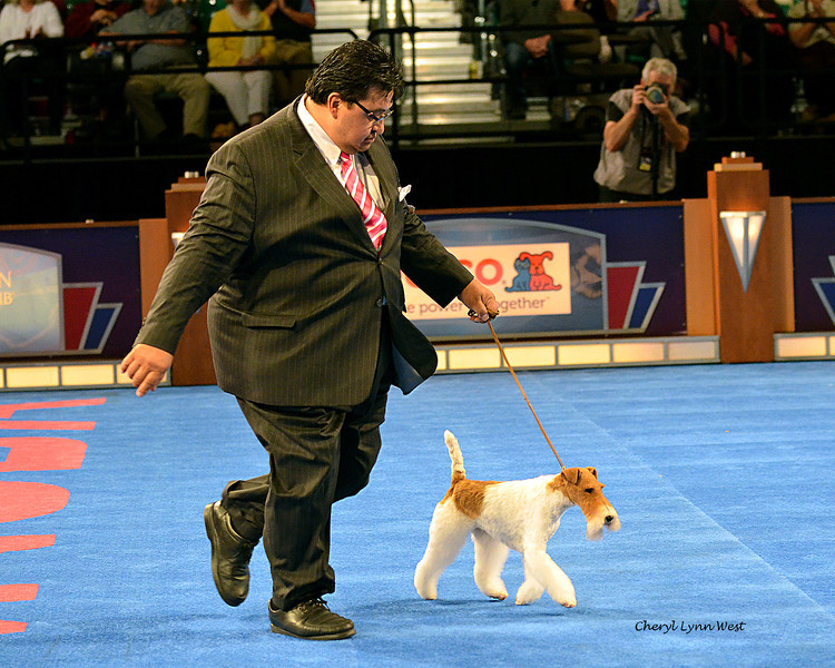 Best in Show competition - Reserve BIS and Terrier Group 1 - Wire Fox Terrier - GCH CH Afterall Painting The Sky
