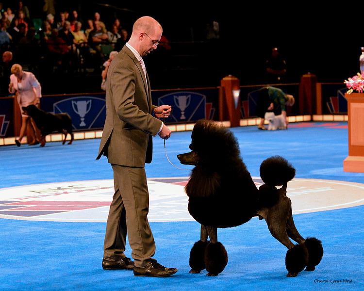 Bred-By Exhibitor - Non-Sporting Group 1 - Standard Poodle - Afterglow Maverick Sabre