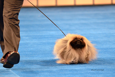Best in Show competition - Toy Group 1 - Pekingese - GCH CH Yakee Easily Persuaded