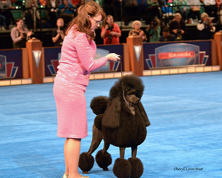 Best in Show competition - Non-Sporting Group 1 - Standard Poodle - GCH CH Dawin Hearts On Fire