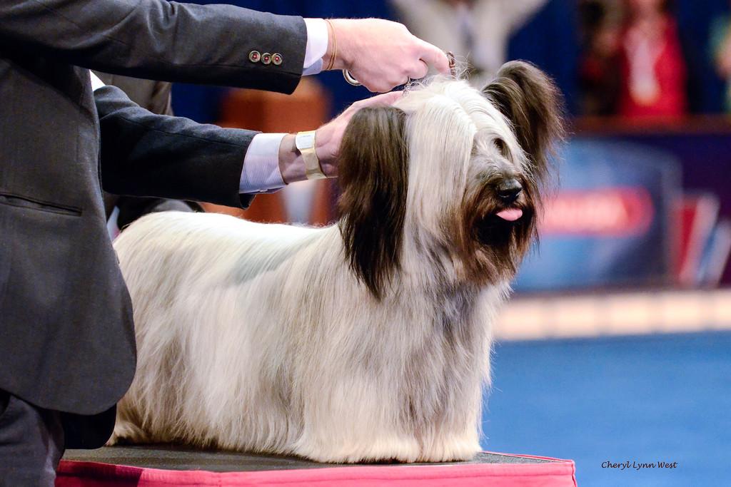 Best in Show  Winner - Skye Terrier - GCH CH Cragsmoor Good Time Charlie