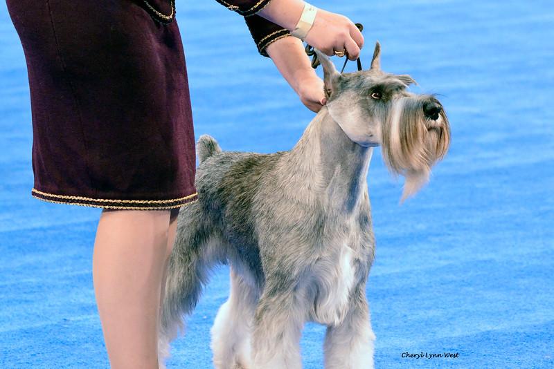 Standard Schnauzer - GCH CH Shana's Blue Bayou<br /> Best of Breed