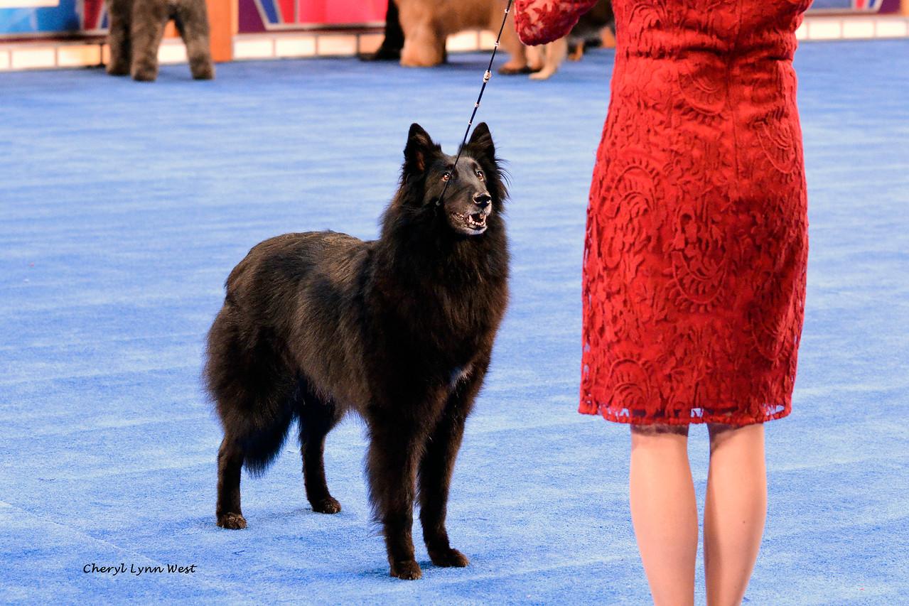 Belgian Sheepdog - GCH CH Indigo Hill -N- Sumerwynd's Arya CD RE<br /> Best of Breed