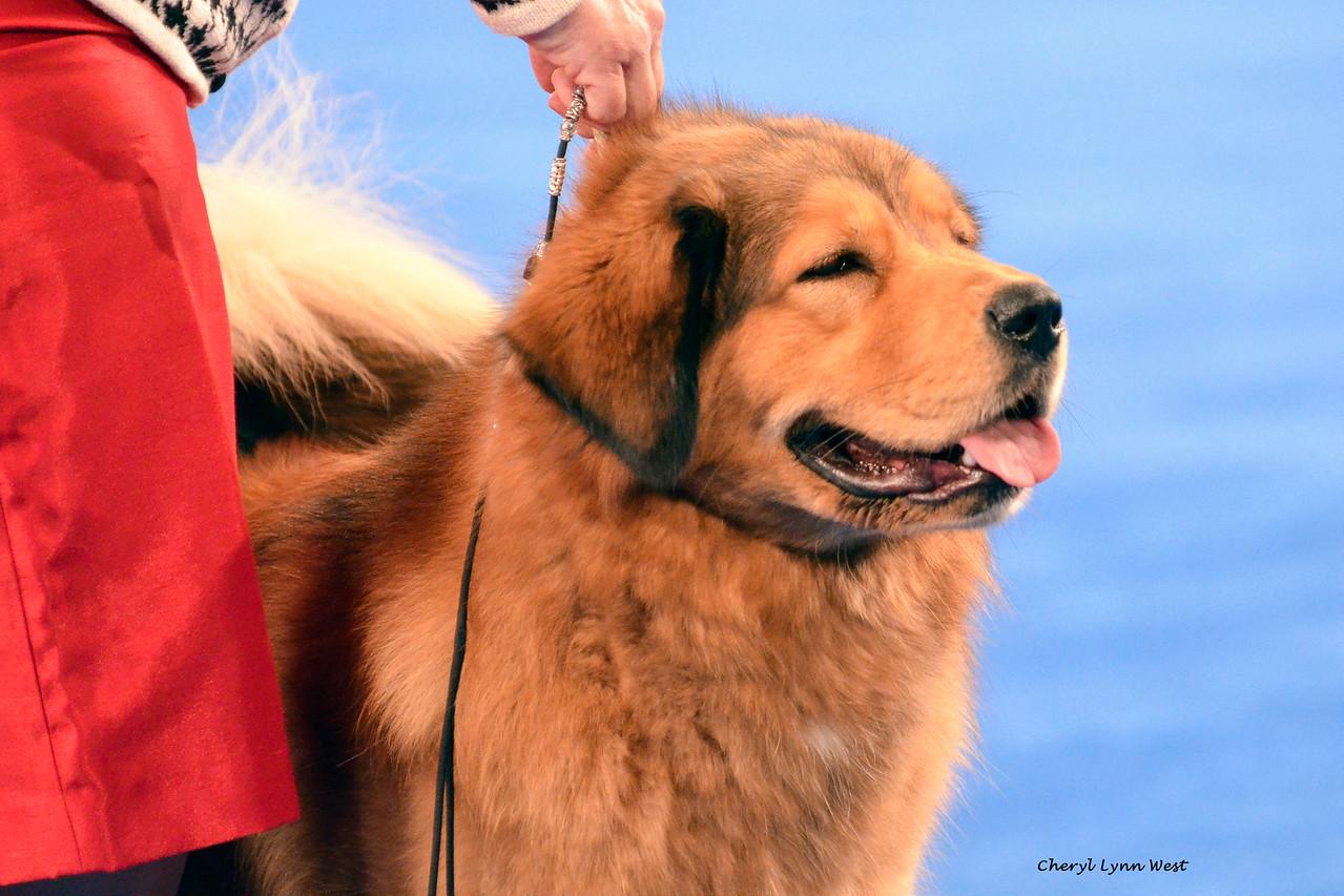 Tibetan Mastiff - GCH CH Comancheria's Golden Girl At Riverwood<br /> Best of Breed
