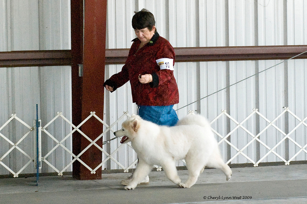 White Gold's Frosted Gingersnap, a six month old Samoyed bitch, took Winners Bitch for her first point