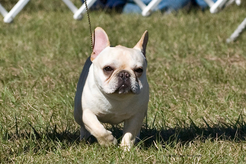 French Bulldog female being shown at the Brooksville shows during the January Circuit