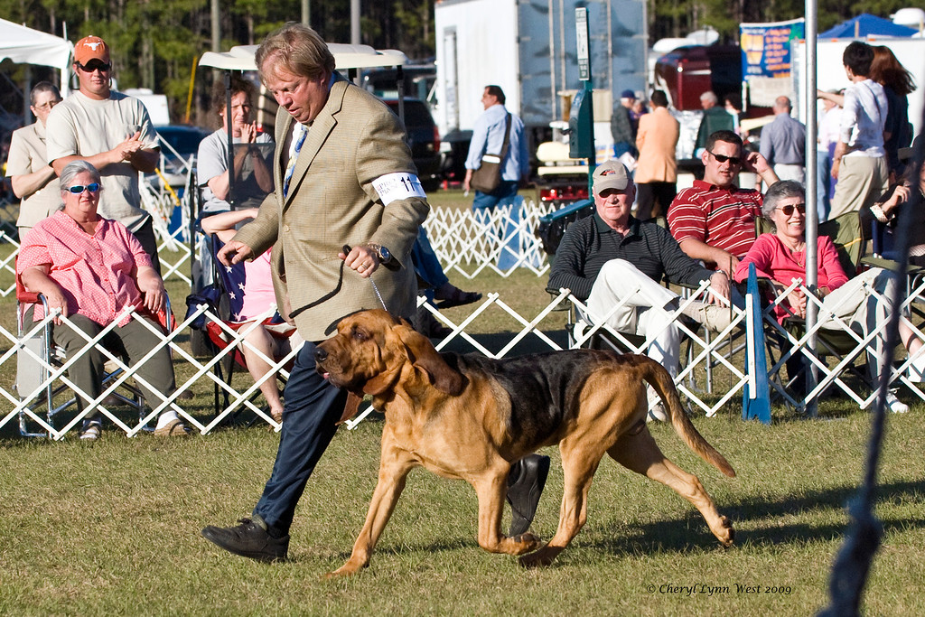 Ch Heather's Black Diamond, a Bloodhound male, took Best of Breed.  He is owned by Lynne Lumsden & Heather Whitcomb and is shown in the Hound Group ring by Greg Myers, DHG.
