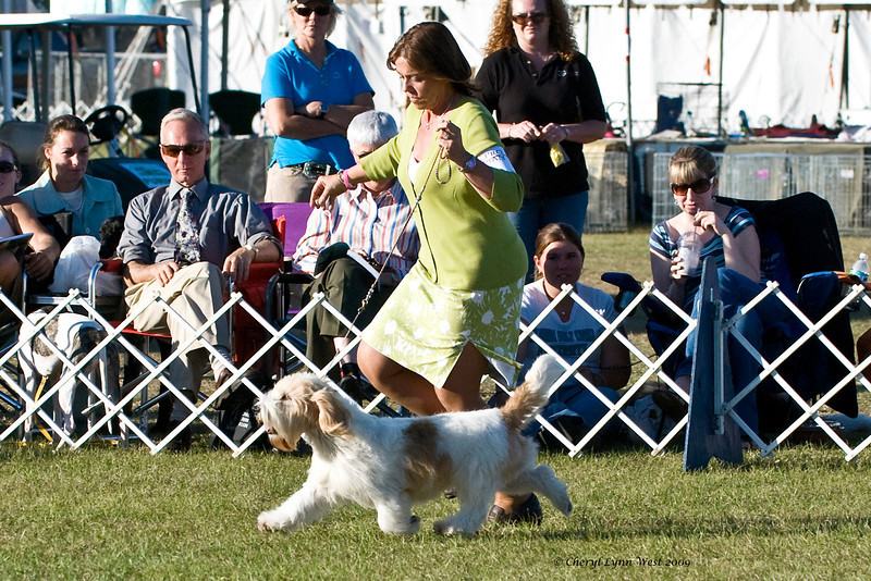 Ch Rokeena Carte Blanche, a Petit Basset Griffon Verdeen, took Best of Breed, Group 1 and Best In Show two days on the January circuit.  He is shown here being handled in the Hound Group ring by Jane Alston-Myers, DHG, handled him to his wins.