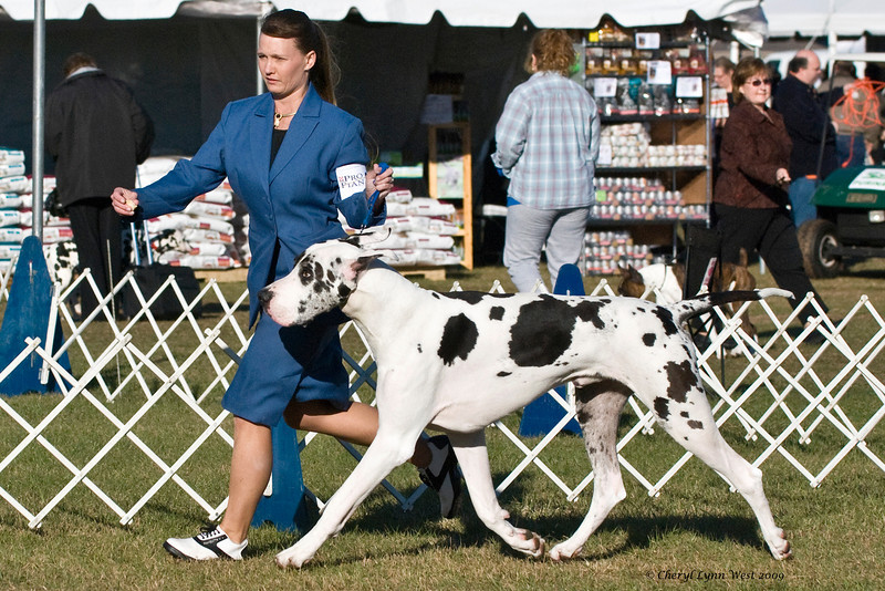 Ch Overlook's Ghost In The Mirror, a Harlequin Great Dane, is shown in the Best of Breed competition by Laura Coombs.  He is owned by Tim & Deborah Jones.