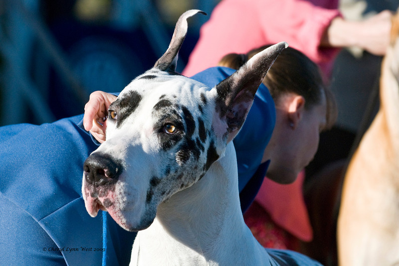 Ch Overlook's Ghost In The Mirror, a Harlequin Great Dane, is shown in the Best of Breed competition by Laura Coombs.  He is owned by Tim & Deborah Jones. (Check back for more pictures of the Great Danes, coming soon.)