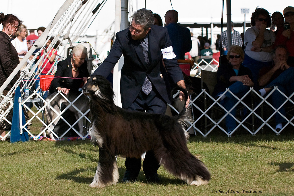 Kasban-Seafire Sultan Of Swing, an Afghan Hound, was shown in the 12 to 18 month class.  Thor is owned by Elizabeth Leng & Gary Sheetz, who is showing him. (Check back for more pictures of Thor, coming soon.)