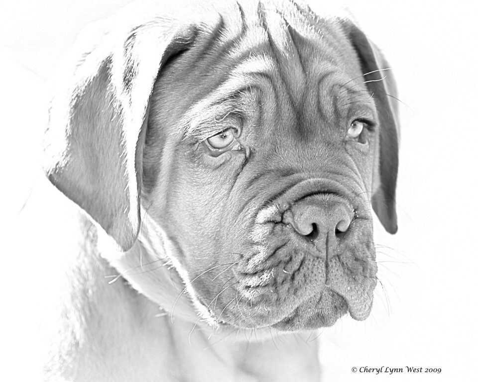 Moses, an 11 week old Dogue de Bordeaux puppy dog - pencil sketch