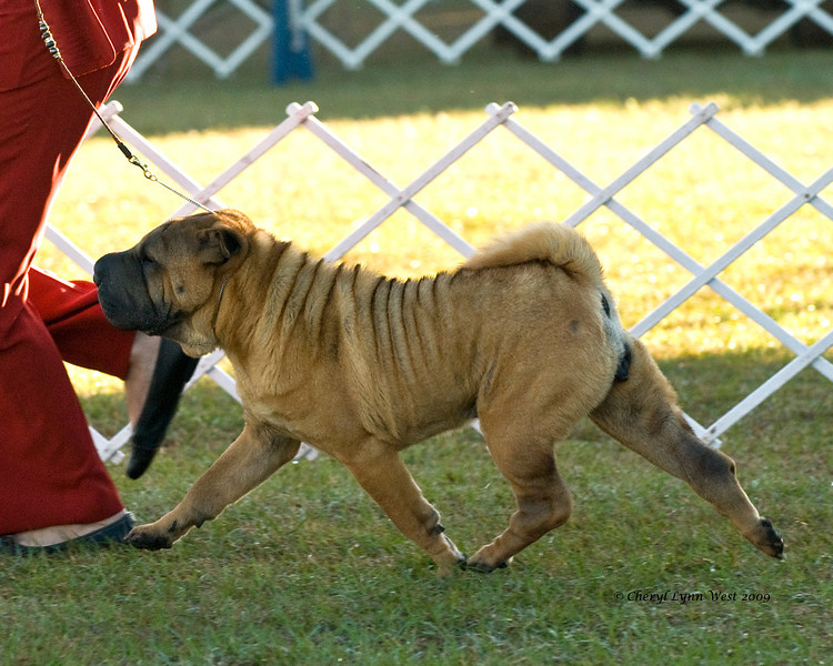 T'aibet Bell Lucky Blaze Monet, a Chinese Shar-Pei, competed in the 12 to 18 month Bitch class. Monet is owned and handled by Ann Matto.